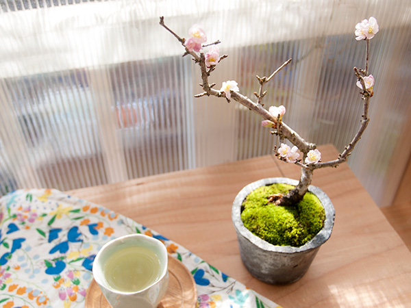 桜の盆栽 教室